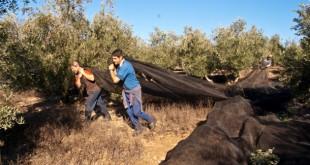 Trabajadores agrícolas en la recogida de la aceituna. Imagen de archivo.