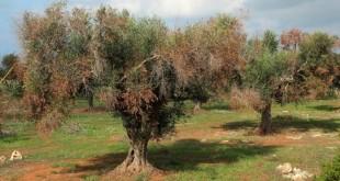 Olivos en el sur de Italia afectados por la Xylella fastidiosa. Imagen de archivo.