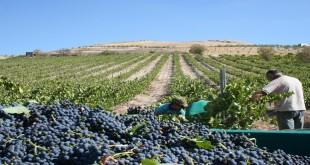 Imagen de archivo de la vendimia en un viñedo de Baena. Foto: TV Baena.