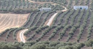 Explotaciones agrícolas de olivar y cereal en el término municipal de Baena. Foto: TV Baena.
