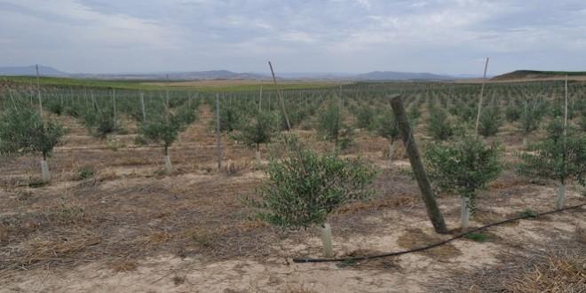 Riego en olivar